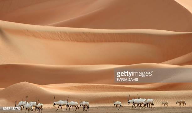 Arabian Oryx are seen at the Arabian Oryx Sanctuary in Um al-Zamool, near the United Arab Emirates' border with Saudi Arabia on March 23, 2017. The...