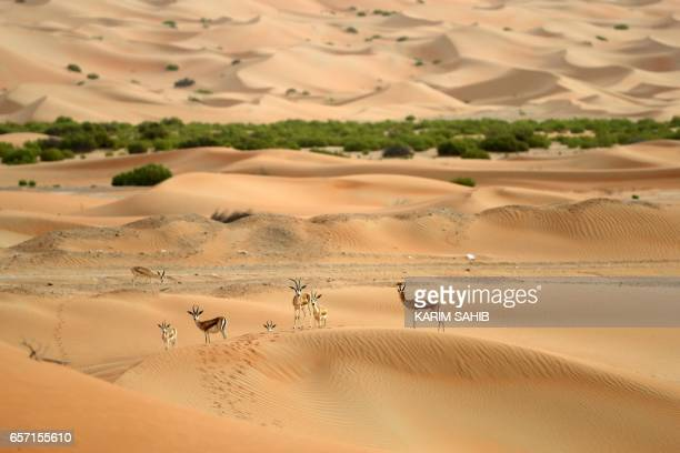 Arabian Oryx are seen at the Arabian Oryx Sanctuary in Um al-Zamool, near the United Arab Emirates' border with Saudi Arabia on March 24, 2017. The...