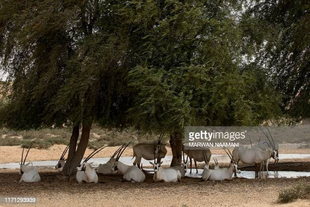 Arabian Oryx desert antelopes sit in the shade as tempreatures exceeded 49 degree Cellcius at alMaha nature reserve and resort some 100 kms south of...