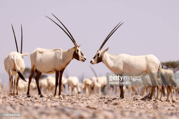 Arabian oryx graze in al-Wusta wildlife reserve for environmental conservation in the Omani desert capital of Haima in the central governorate of...