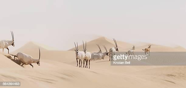 Arabian Oryx herd (Oryx leucoryx) in landscape