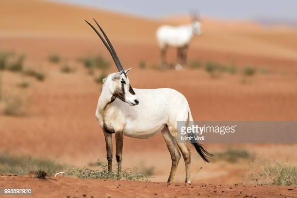 Arabian Oryx in all