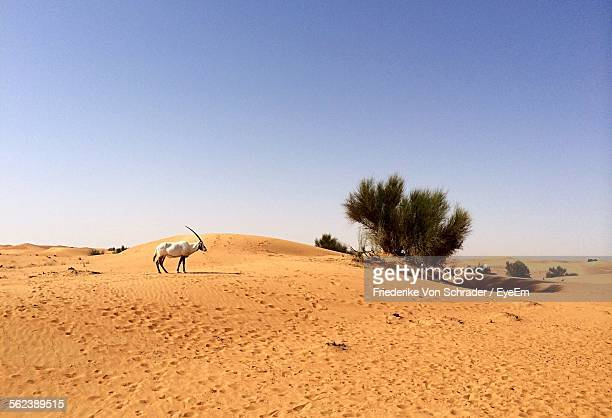 Arabian Oryx In Desert Against Clear Sky