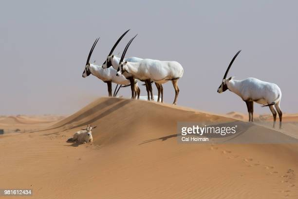 Arabian Oryx in Dubai Desert Conservation Reserve, Dubai, United Arab Emirates