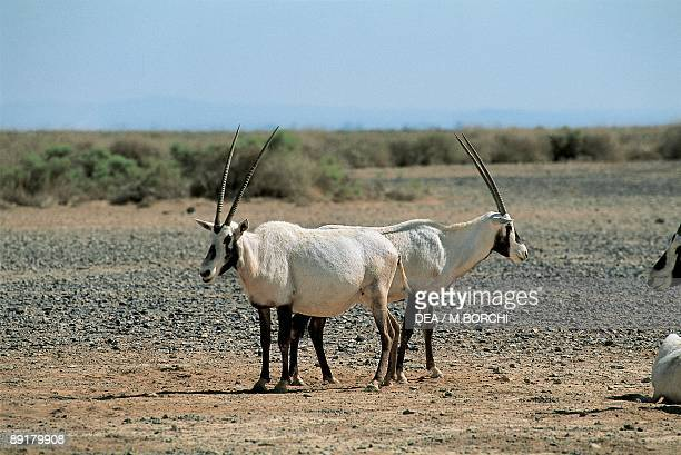 Arabian oryx in the forest Shawmari Wildlife Reserve Azraq Jordan