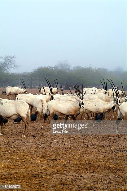 Arabian oryx in the wildlife park on Sir Bani Yas an island in the Persian Gulf The once private retreat of the United Arab Emirates founder the...