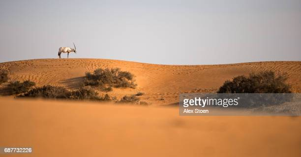 Arabian Oryx on top of a sand dune