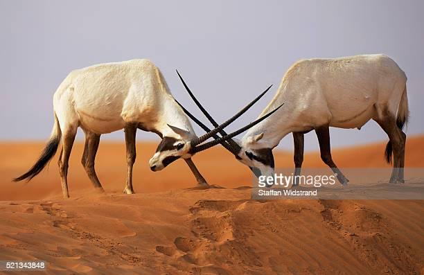 arabian oryx, oryx leucoryx, dubai desert conservation reserve, dubai - wildlife stock pictures, royalty-free photos & images