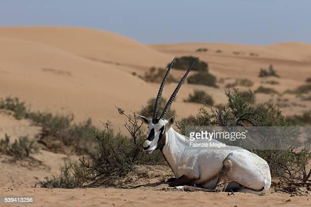 Arabian oryx