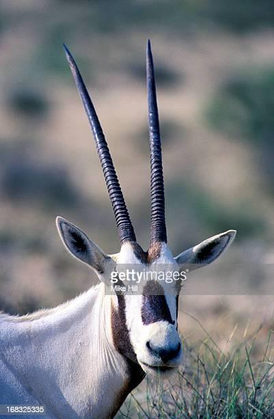 Arabian oryx portrait
