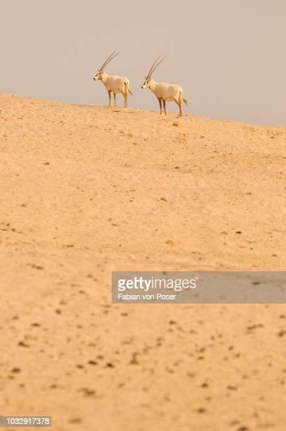 Arabian Oryx (Arabian Oryx), Sir Bani Yas Island, Abu Dhabi, United Arab Emirates, Arabia, Near East, Orient