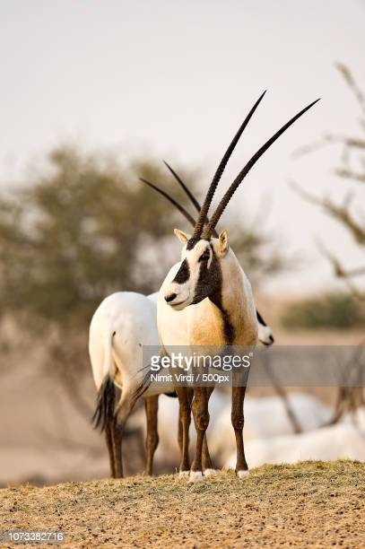 Arabian Oryx-sunset hue