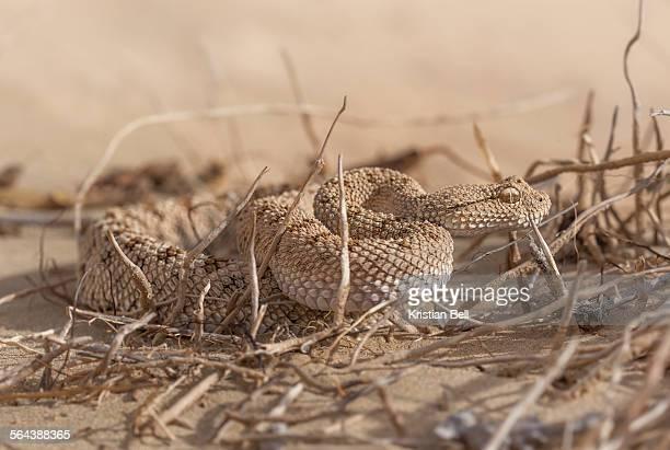Arabian sand/horned viper (Cerastes gasperettii)