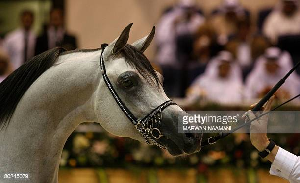Arabian threeyearold colt Baanderos owned by Saudi Prince Khaled bin Sultan bin Abdul Aziz parades on the second day of the the 9th Sharjah...