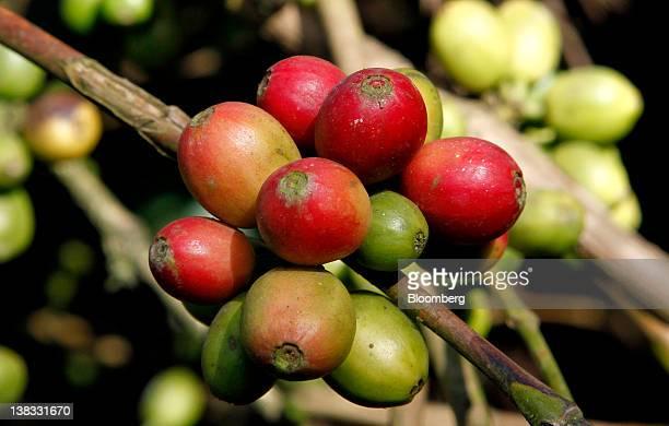 Arabica coffee berries grow in Boikeri village near Madikeri India on Wednesday Jan 18 2012 Coffee exports from India Asia's thirdbiggest supplier...