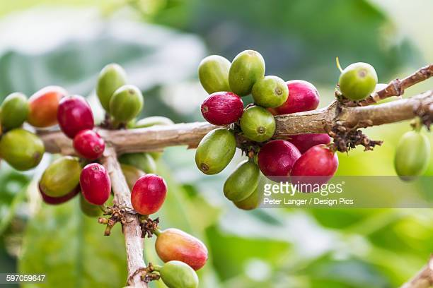 Arabica coffee berries, Panar Butan, North Sumatra, Indonesia