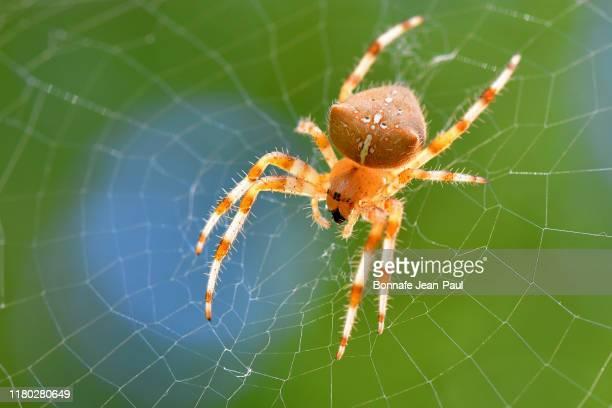 araignée sur sa toile - spider fotografías e imágenes de stock