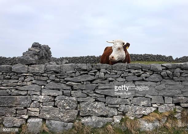 Aran Islands - Cow