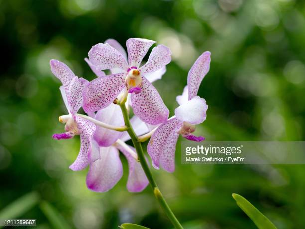 aranda chao praya beauty in singapore orchid garden - marek stefunko stock pictures, royalty-free photos & images