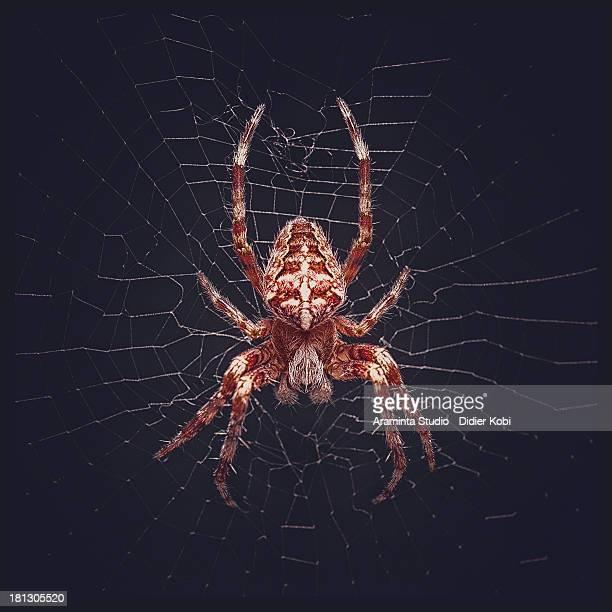 araneus diadematus - ニワオニグモ ストックフォトと画像