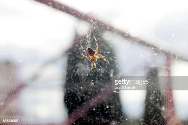 Araneus Spider in the net