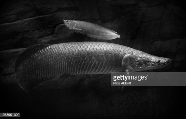 195 Arowana Photos And Premium High Res Pictures Getty Images
