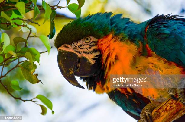 arara canindé - animal selvagem stock pictures, royalty-free photos & images