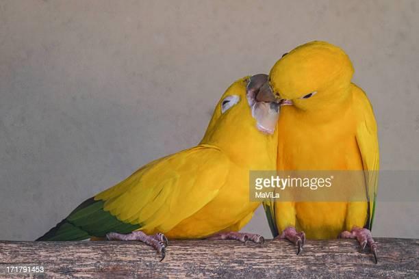 Ararajuba  - Golden Parakeet