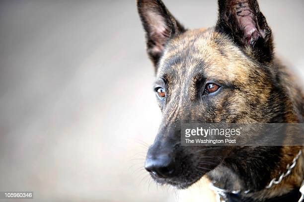 LAREDO TX Aras a dutch shepherd is one of several dogs used to sniff out bulk cash in cars leaving the US into Mexico at the port of entry in Laredo...