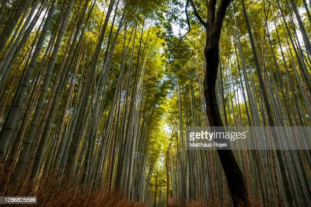 arashiyama bamboo grove kyoto japan