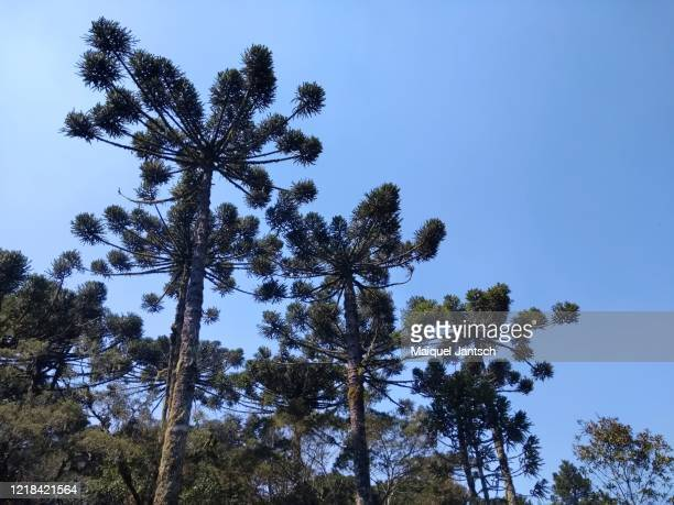 araucaria angustifolia tree paraná pine, brazilian pine or candelabra tree - eastern white pine stock pictures, royalty-free photos & images