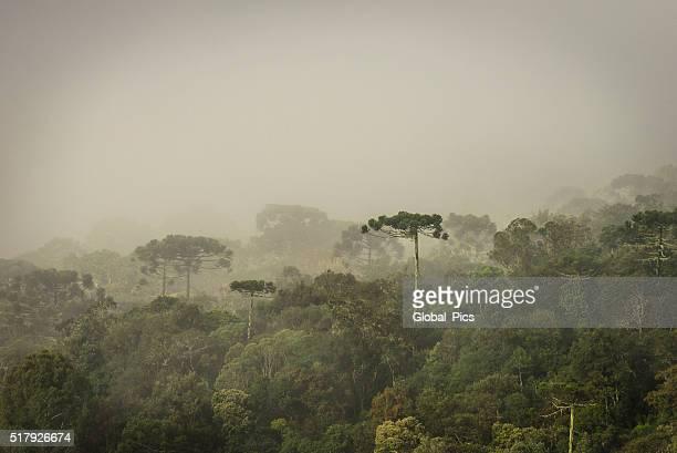 araucaria foresta - conifera foto e immagini stock