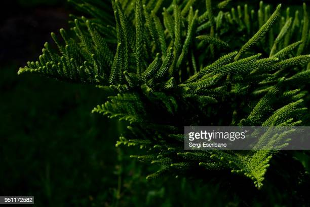 araucaria heterophylla (norfolk island pine) threatened species - coniferous stock pictures, royalty-free photos & images
