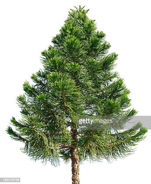 araucaria pine tree isolated on white background - spruce tree stock pictures, royalty-free photos & images