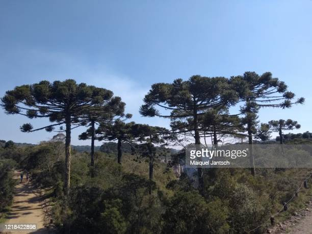 araucarias trees in front of the itaimbezinho canyon, located in aparados da serra national park in cambará do sul, rio grande do sul, brazil. - hill range stock pictures, royalty-free photos & images