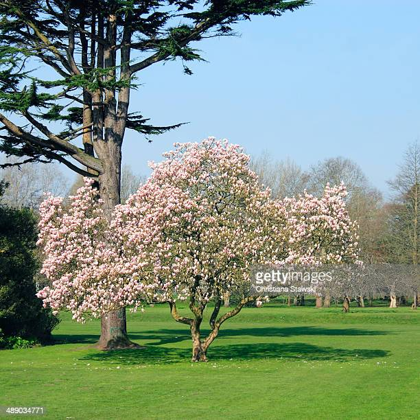 arbor day - tulip tree stock photos and pictures