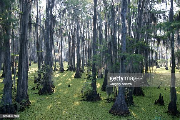 arbor day - bald cypress tree stock pictures, royalty-free photos & images