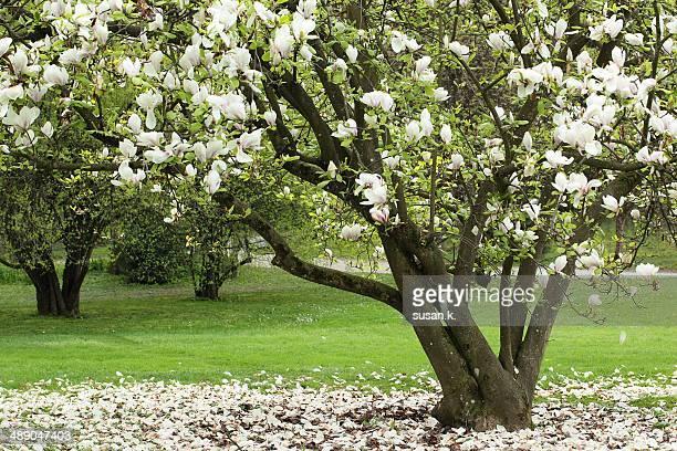 arbor day - magnolio fotografías e imágenes de stock