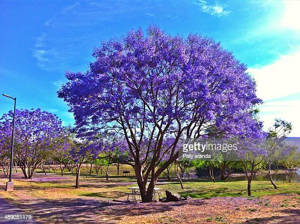arbor day - jacaranda tree stock pictures, royalty-free photos & images