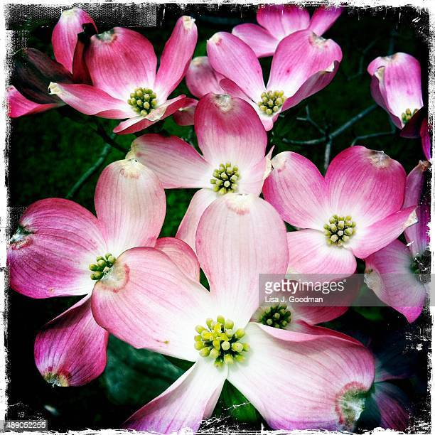 arbor day - dogwood blossom stock pictures, royalty-free photos & images