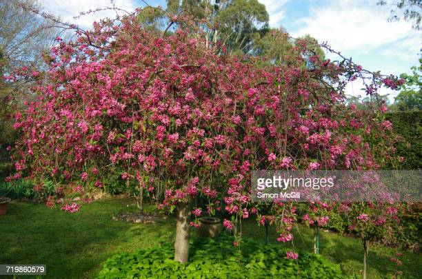 arbor day - crab apple tree stock pictures, royalty-free photos & images