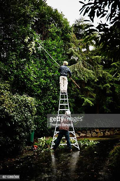 Arborist and assistant pruning hedge