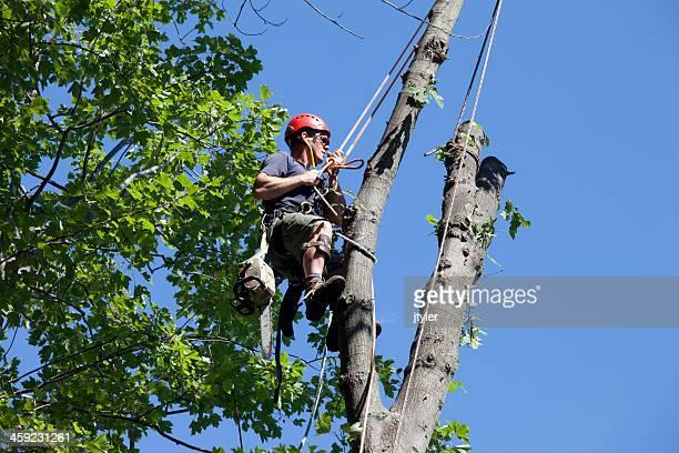Arborist Climbing a Tree