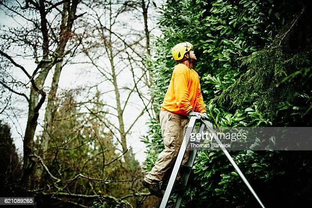 Arborist climbing ladder to inspect tree