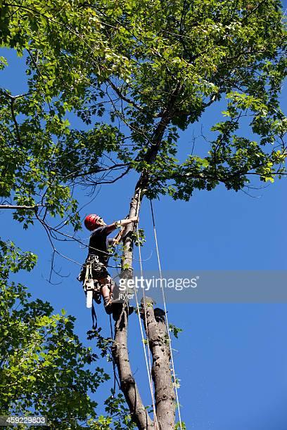 Arborist Climbs a Tree.