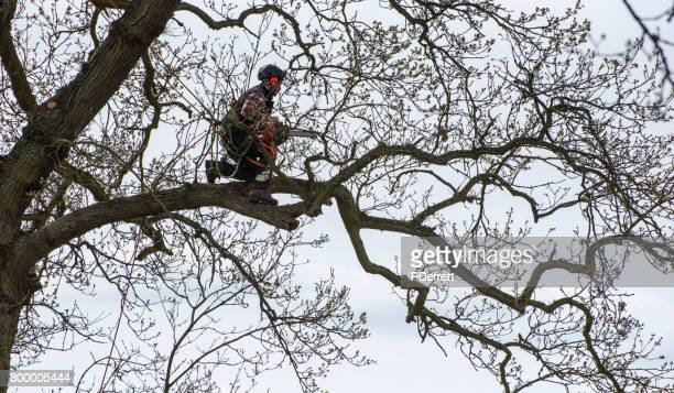 Arborist kneeling on tree branch about to begin a trim.