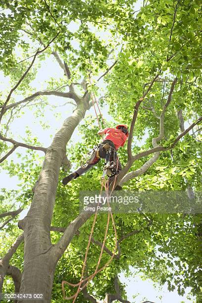 Arborist leaping in tree, low angle view