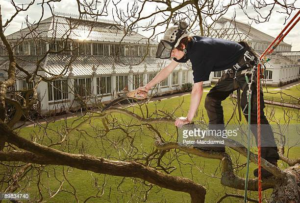 Arborist Matt Nicholas works on a Catalpa Bignonioides tree in sight of the Temperate House at The Royal Botanic Gardens Kew on March 24 2009 in...