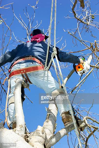 Arborist Tree Surgeon Chainsaw Trimming a Large Ash Tree