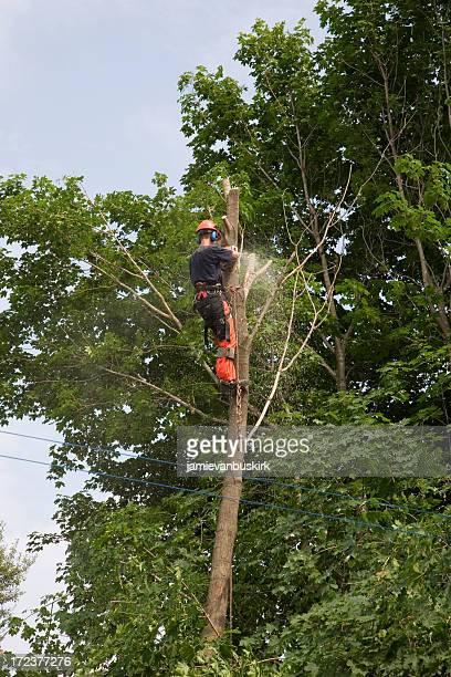 Arborist trims a tree